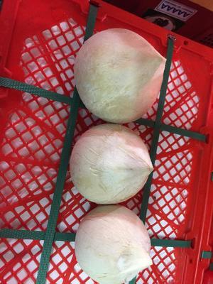 广东广州白云区椰皇 1 - 1.5斤