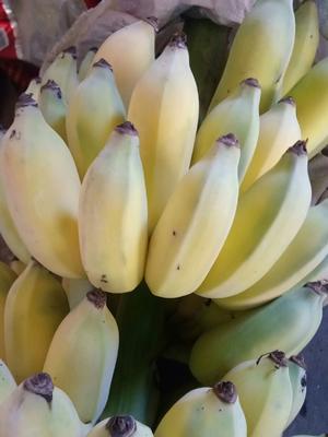云南昆明小米蕉 七成熟 40斤以下