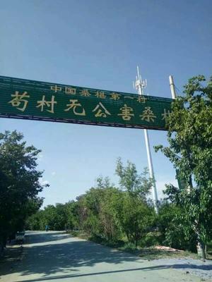 河北省沧州市泊头市桑椹
