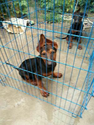 这是一张关于莱州红犬的产品图片