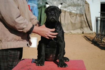 这是一张关于卡斯罗犬的产品图片
