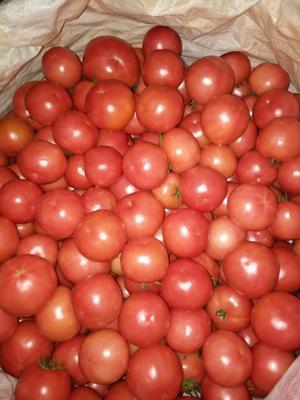 四川攀枝花米易县硬粉番茄 不打冷 硬粉 通货