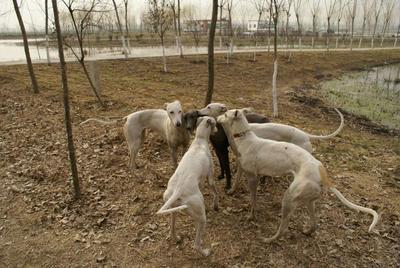 山东济宁比利时野兔 3-5斤