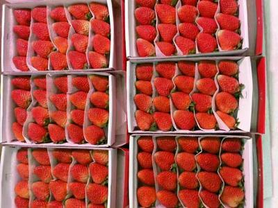 四川成都巧克力味草莓 20克以上