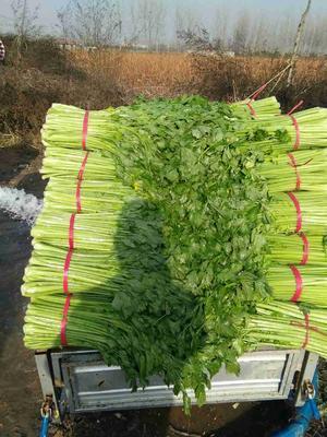 安徽宿州玻璃脆芹菜 55~60cm 0.5~1.0斤