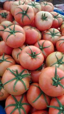 河北唐山绿宝石西红柿 不打冷 硬粉 弧三以上