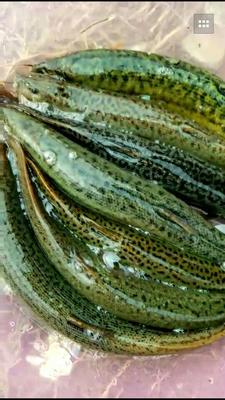广西柳州台湾泥鳅 5-8cm 人工养殖