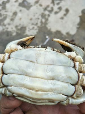 湖北荆州洪湖螃蟹 2.5-3.0两 统货