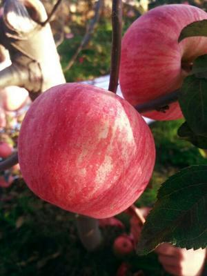 这是一张关于洛川苹果 膜袋 条红 80mm以上 洛川富士10斤55的产品图片