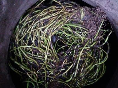 重庆空心菜老干种子 40 ~ 45cm