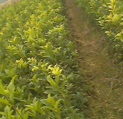 这是一张关于八月桂的产品图片