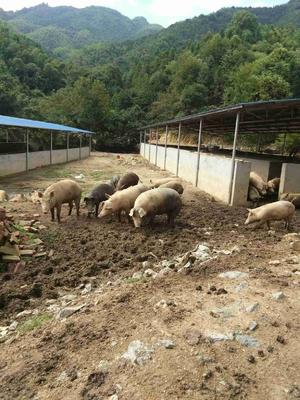 江西吉安土杂猪 100斤以上