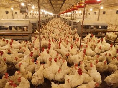 山东聊城白凤乌鸡 3-4斤