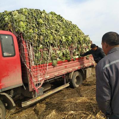 山东省青岛市平度市87-114白菜 10~15斤 毛菜