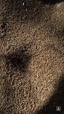 河南周口白麦