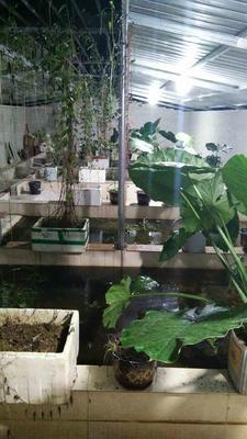 广西梧州黄喉拟水龟苗