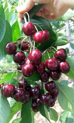 这是一张关于俄罗斯8号樱桃苗的产品图片