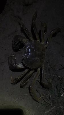 安徽芜湖无为县安徽螃蟹 2.5-3.0两 统货