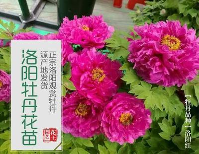 河南洛阳老城区洛阳红 20cm以上 20cm以上 0.5~1米