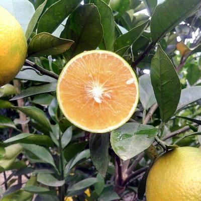 这是一张关于廉江红橙 55 - 60mm 4-8两的产品图片