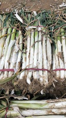这是一张关于长白大葱 2cm左右 25~30cm 毛葱的产品图片