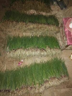 这是一张关于洋葱苗 15~20cm的产品图片