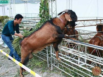 贵州铜仁努比亚羊 50-80斤
