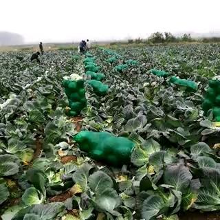 湖南省岳阳市君山区扁球甘蓝 3.0~3.5斤