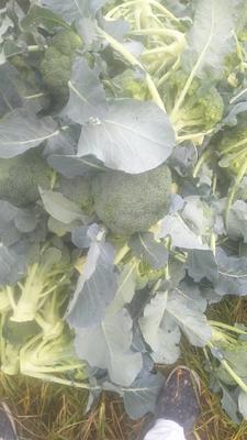 浙江省台州市三门县炎秀西兰花 0.8~1.2斤 10~15cm