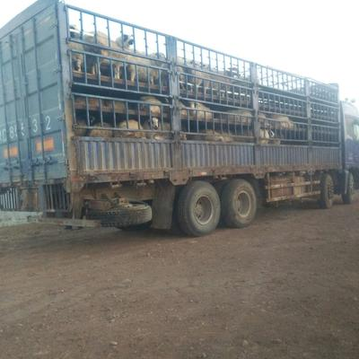 内蒙古赤峰蒙古羊 80-110斤