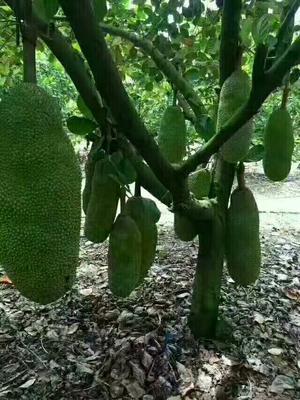 广西崇左海南菠萝蜜 15斤以上