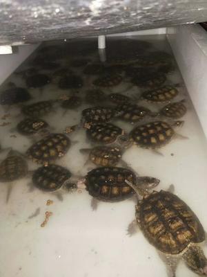 广东茂名电白区鳄龟 10-20cm 6-8斤