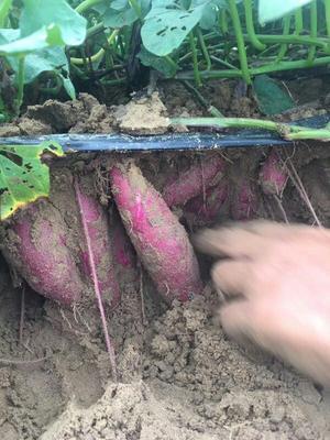 广东揭阳普宁市富硒紫薯 3两以上