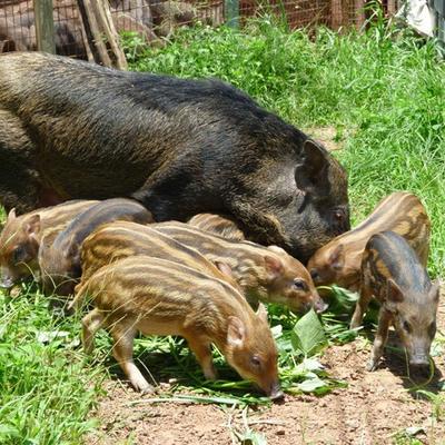 江西南昌特种野猪 160-200斤 统货