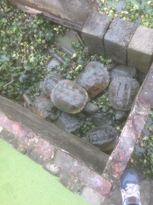 广东茂名电白区鳄龟 10-20cm 8-10斤