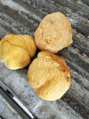 黑龙江牡丹江海林市东北猴头蘑 10cm以上
