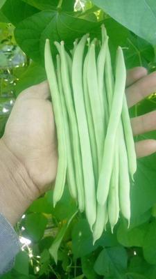云南昆明白花四季豆 15cm以上
