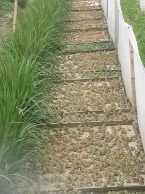 四川省宜宾市宜宾县青蛙苗