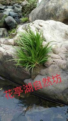 安徽安庆太湖县石菖蒲