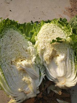 山东省青岛市胶南市87-114白菜 6~10斤 净菜