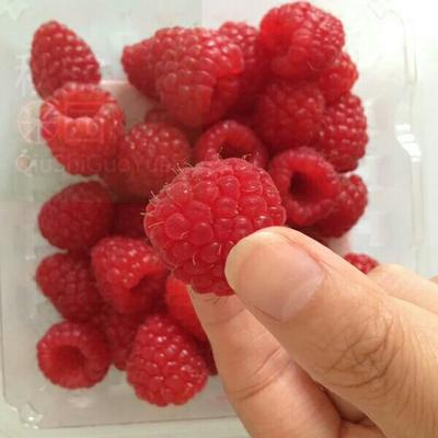 河南省濮阳市濮阳县红树莓 冻果