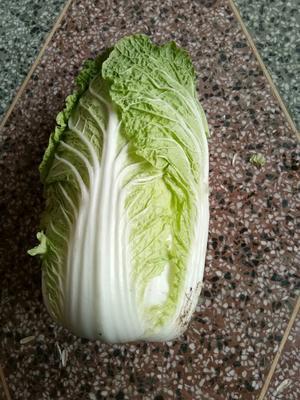 山东省临沂市郯城县秋宝白菜 3~6斤 净菜