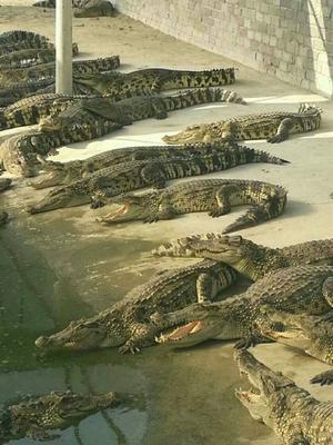 这是一张关于暹罗鳄的产品图片
