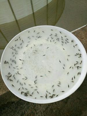 广东佛山禅城区翘嘴鳜 人工养殖 0.8斤以下