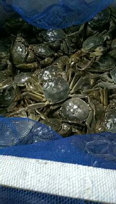 江苏连云港河蟹 2.0-2.5两 母蟹