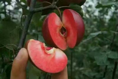 山东泰安岱岳区红色之爱苹果苗 0.5~1米
