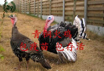 广西南宁青铜火鸡 2斤以下
