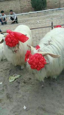 辽宁营口绒山羊 80-110斤