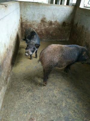 湖北恩施土特种野猪 160-200斤 统货