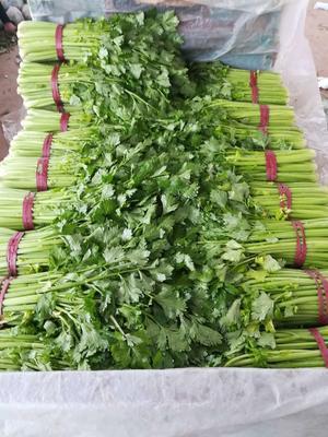 河北省邯郸市永年县皇妃芹菜 60cm以上 大棚种植 0.5~1.0斤